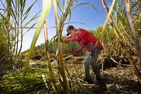 farmer canna da zucchero raccolta in