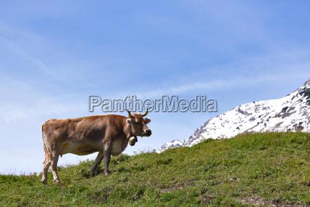 montagne alpi mucca succoso prato cielo