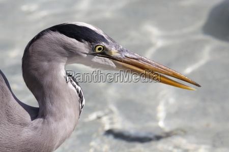uccello uccelli airone acqua rapinatore bandito
