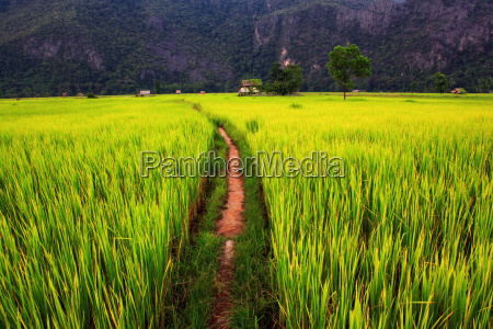 agricolo agricoltura campo di mais risaia