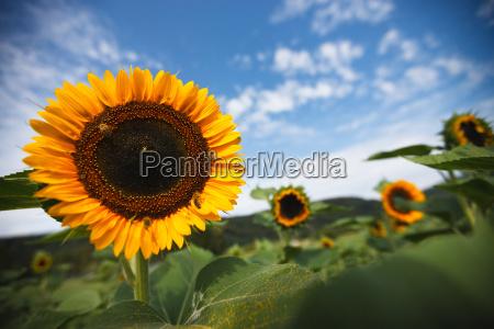 estate fiore girasole impianto campo di