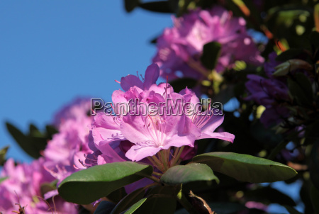 fiori primavera rododendro arbusto cespuglio maggio