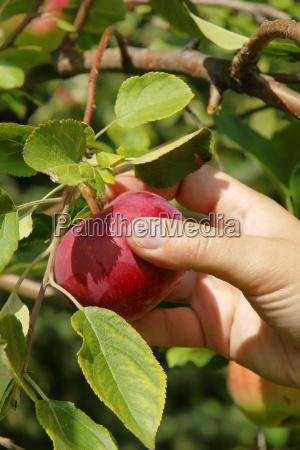 verticale mano raccolta mela da vicino