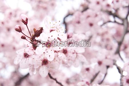 la fioritura di alberi da frutta