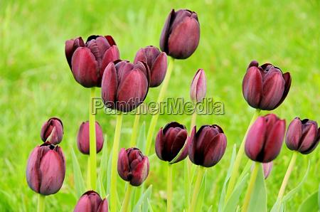 tulipano viola tulipano viola 02