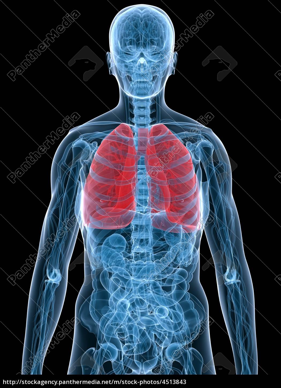 polmone, evidenziato - 4513843
