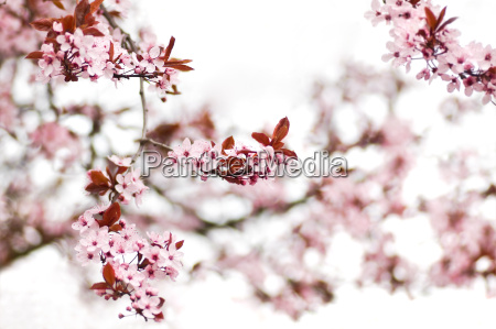 fiore fioritura fiori primavera ciliegia rosa