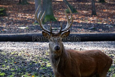 animale riserva di caccia cervo caccia