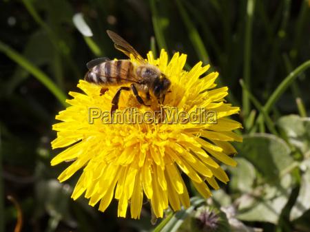 fiore fioritura primavera tarassaco prato miele