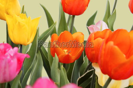 yellow pink colored and orange tulips