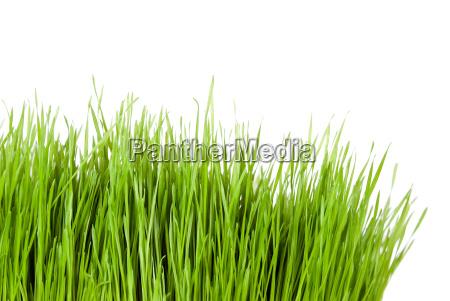 erba verde contro uno sfondo bianco