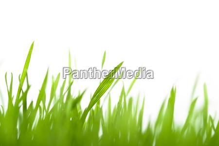 verde caucasico bianco primavera crescere prato