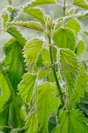 foglia foglie ortica pianta