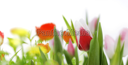 tulips and spring flowers