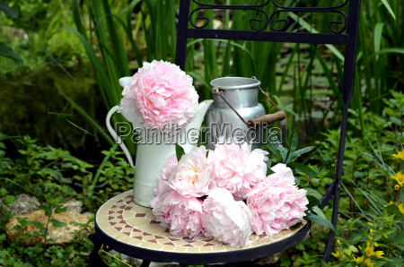 peonie rosa in giardino