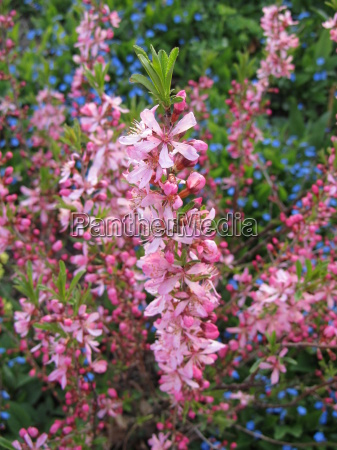 rosa seidelbast daphne