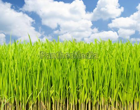 coltivazione di erba fresca