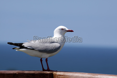 uccello uccelli gabbiano nuova zelanda