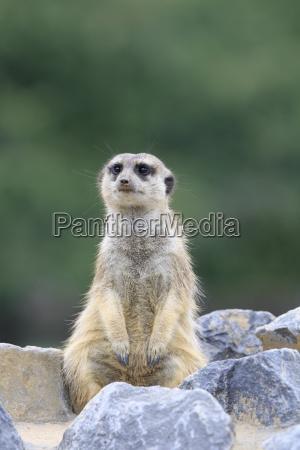 meerkats in primo piano