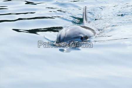 bottlenose dolphin or tursiops truncatus