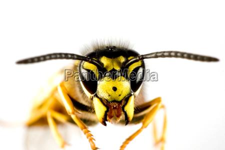 testa di vespa in sfondo bianco