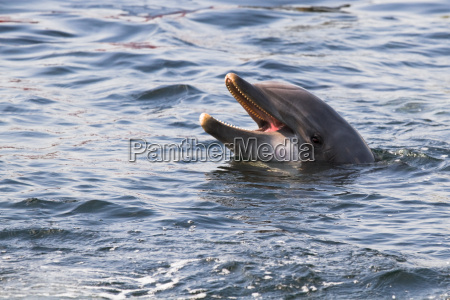 bottlenose dolphin or tursiops truncatus looking