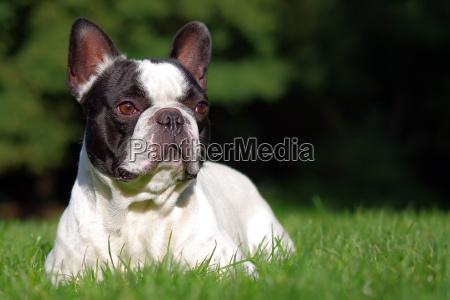 bulldog, francese - 5412099
