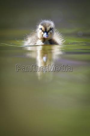 carino piccolo anatroccolo nuoto in acqua