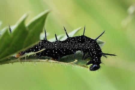 insetto verde farfalla nero bruco pagina