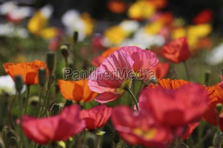 parco giardino colorato fiori papavero papaveri
