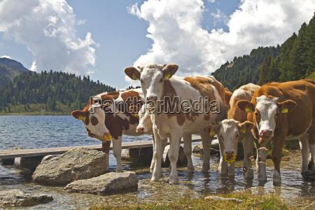 agricoltura mucca bestiame acqua dolce lago