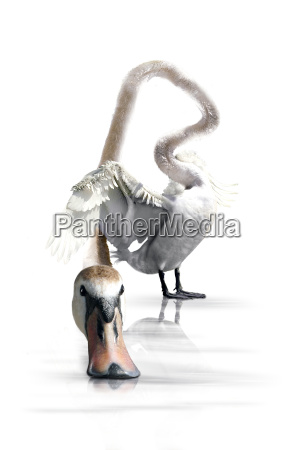 animale uccello animali cigni cigno uccelli