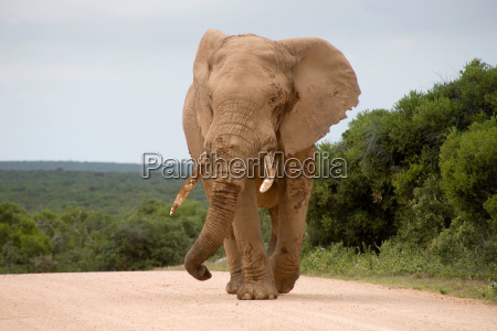 elephant in addo park
