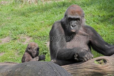 animale africa scimmia prole scimmie cucciolo