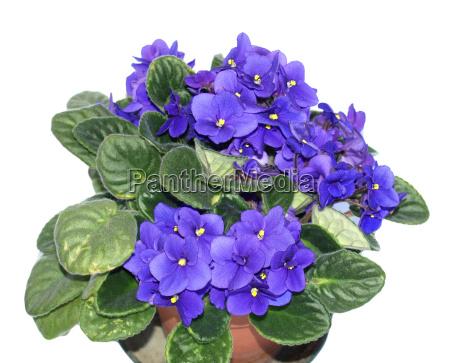 casa costruzione fiore viola africano pianta