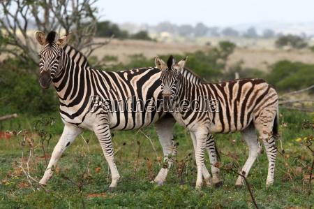 ambiente animale mammifero fauna selvaggio africa