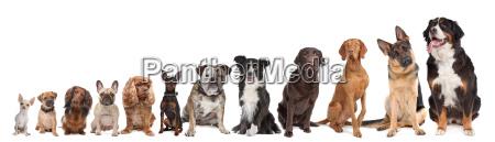 dodici cani in una riga