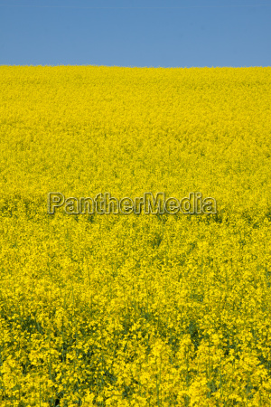 rapeseed only