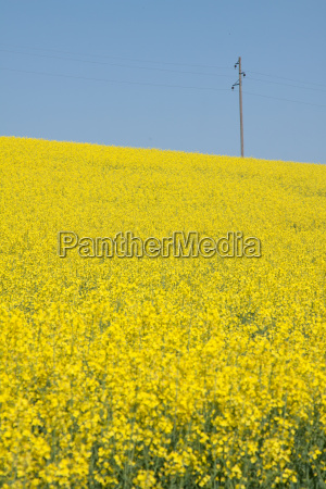 rapeseed and mast