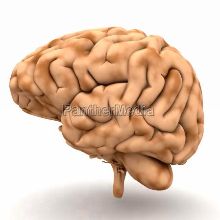 cervello vista da destra