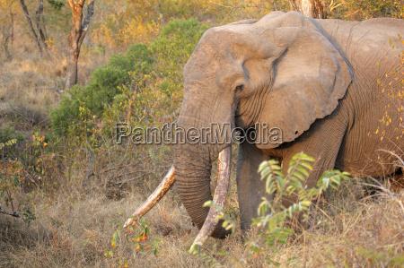 elefante avorio zanna valigia natura africano