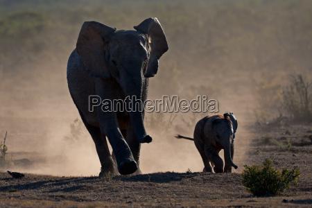 elefante polvere piccolo poco breve africano