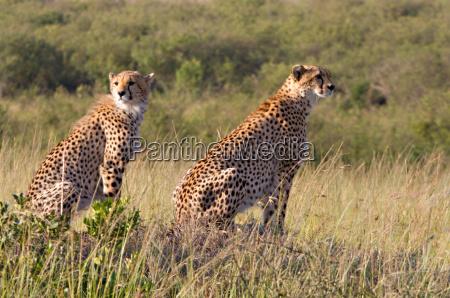 africa natura safari gatto ghepardo riserva