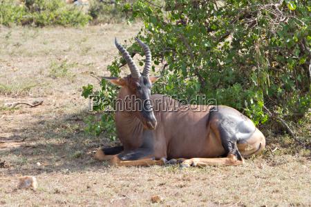 primo piano riserva di caccia antilope