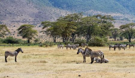 mandria di zebre nel cratere ngorongoro
