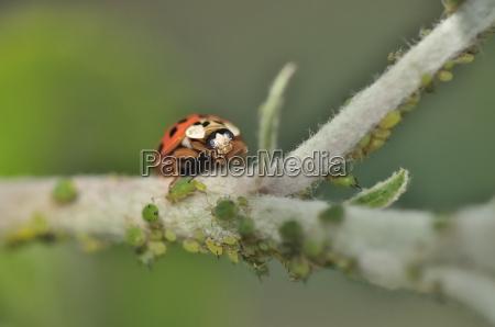 ladybug during feeding