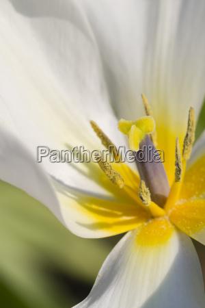 fiore fioritura impianto tulipano