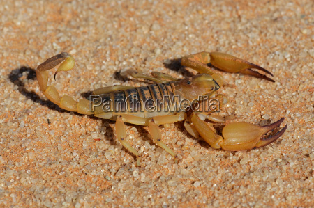 scorpione aggressivo