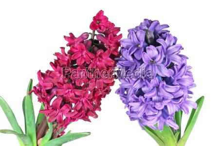 fiore fioritura porpora giacinto stagionale pianta