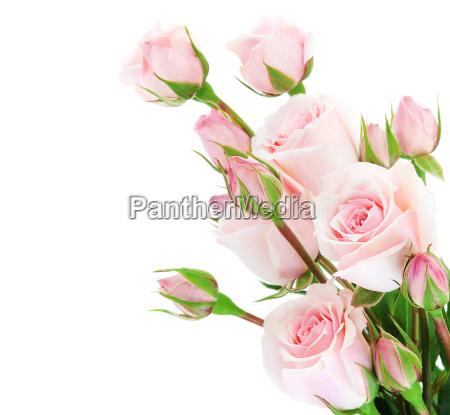 confine rose fresche